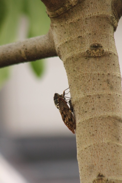 Cicada_003