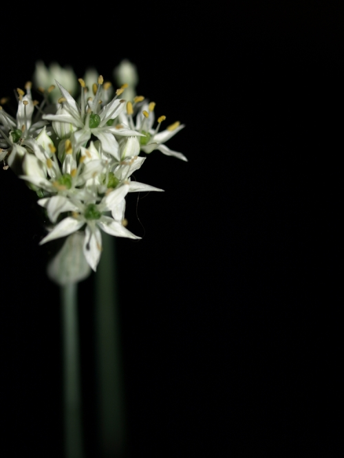 Garlic_002