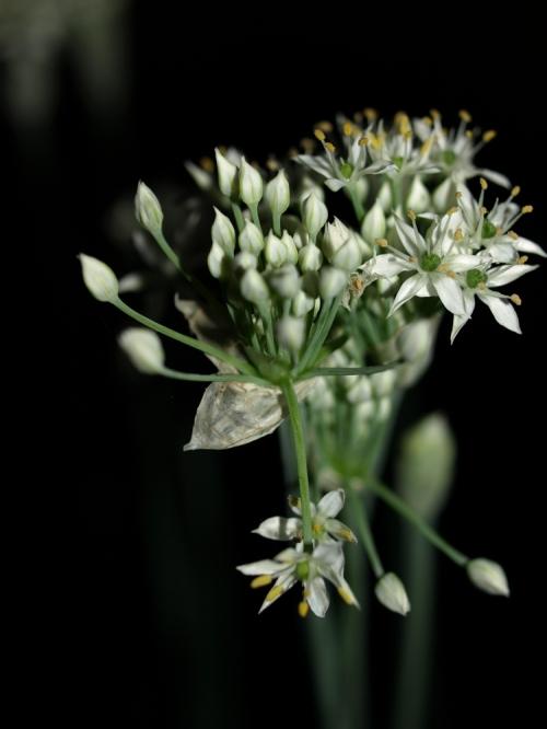 Garlic_003