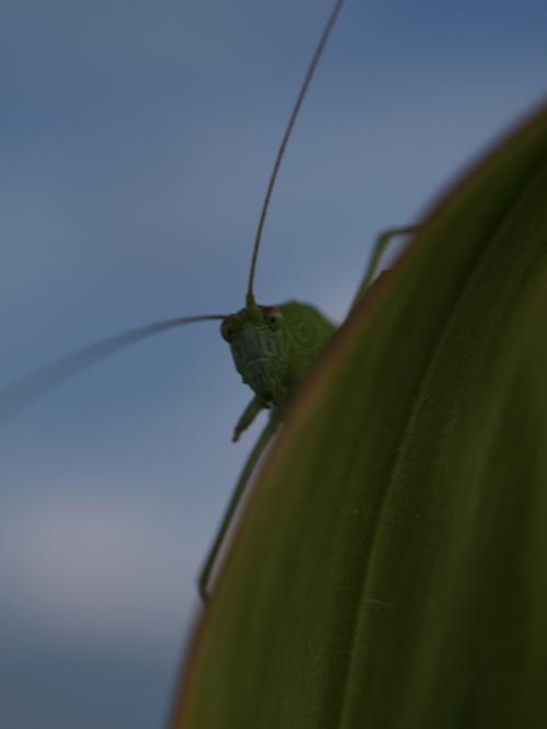Grasshopper_008