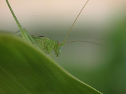 Grasshopper_011