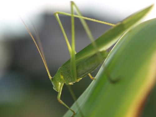 Grasshopper_016