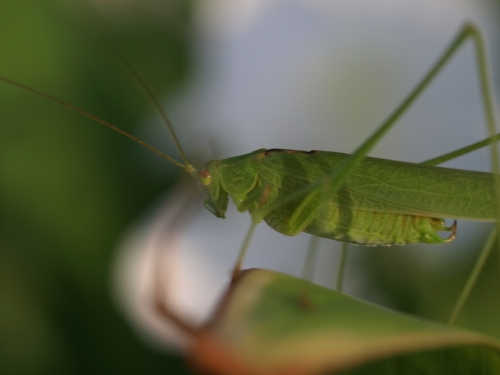 Grasshopper_021